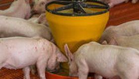 Farines animales : un retour discret et encadré