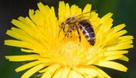 Pesticides tueurs d'abeilles : une interdiction enfin définitive !